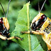 Two Desert Locusts Eating Poster