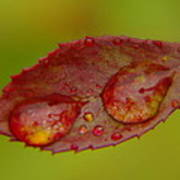 Two Droplets On A Leaf  Poster