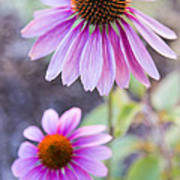 Two Echinacea Poster