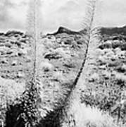 two echium wildpretii vipers bugloss tajinaste rojo in desert teide national park Tenerife Canary Islands Spain Poster