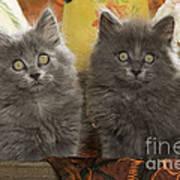 Two Fluffy Kittens Poster