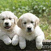 Two Golden Retriever Puppies Poster