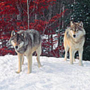 Two Gray Wolves Poster