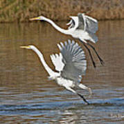 Two Greater Egrets  Poster