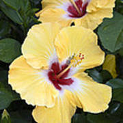 Two Hibiscus Poster