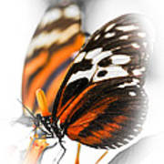 Two Large Tiger Butterflies Poster