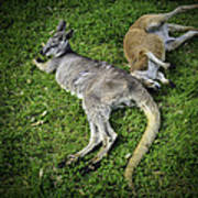 Two Lazy Kangaroos Lying Down Poster