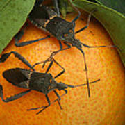 Two Leaf Footed Bugs On An Orange Poster
