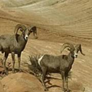 Two Male Rams At Zion Poster
