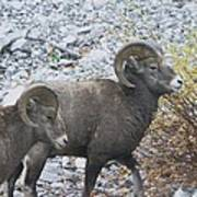 Two Male Rams Poster