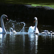 Two Mute Swans With Young Cygnus Olor Poster