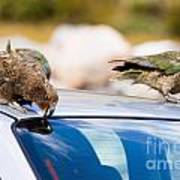 Two Nz Alpine Parrot Kea Trying To Vandalize A Car Poster
