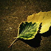 Two Of Birch Leaves Poster