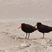 Two Oystercatchers Haematopus Unicolor On Beach Poster