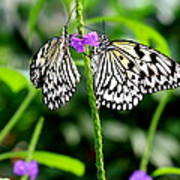 Two Paper Kite Or Rice Paper Or Large Tree Nymph Butterfly Also Known As Idea Leuconoe Poster
