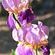 Two Purple Irises Poster