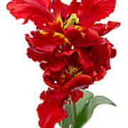 Two Red Parrot Tulips Poster