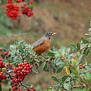 Two Robins Eating Berries Poster