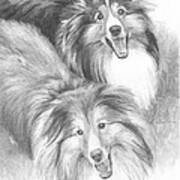 Two Shelties Pencil Portrait Poster
