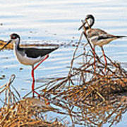 Two Stilts At The Pond Poster