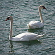 Two Swans A Swimming Poster