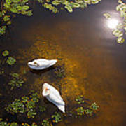 Two Swans With Sun Reflection On Shallow Water Poster