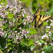 Two Tailed Swallowtail Poster