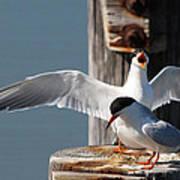 Two Terns Poster by Diane Rada