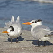 Two Terns Watching Poster