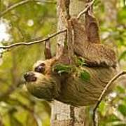 Two-toed Sloth Poster