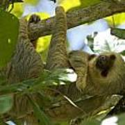 Two-toed Sloth Relaxing With A Grin Poster
