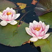 Two Water Lillies Poster