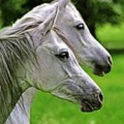 Two White Arabian Mares Poster