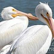 Two White Pelicans Poster