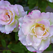 Two White Roses Border Poster