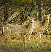 Two White Tailed Deer Poster