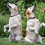 Two Yellow Labrador Retrievers Sitting Poster