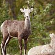 Two Young Stone Sheep Ovis Dalli Stonei Watching Poster