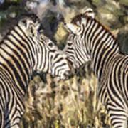 Two Zebras Equus Quagga Nuzzlling Poster