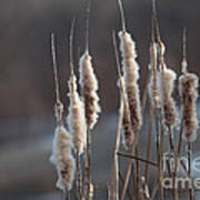 Typha Cattail Spikes Seeds Poster
