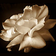 Umber Rose Floral Petals Poster