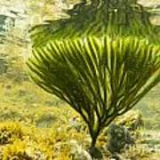 Underwater Shot Of Seaweed Plant Surface Reflected Poster