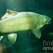 Underwater Shot Of Trophy Sized Tiger Trout Poster