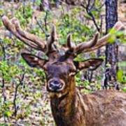 Up Close And Personal With An Elk Poster