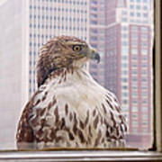 Urban Red-tailed Hawk Poster