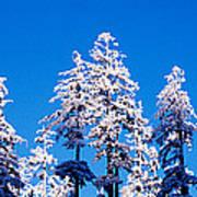 Usa, Oregon, Pine Trees, Winter Poster