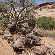 Utah Tree Poster