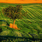 Val D'orcia Tree Poster