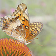 Variegated Fritillary On Cone Flower Poster