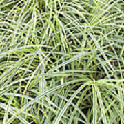 Variegated Monkey Grass Background Poster